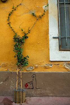 """Vegetation of the city by micro-flowering, Confederate jasmine (Trachelospermum jasminoides), Mediterranean district, Montpellier In the framework of """"Montpellier Cite Jardins"""", the City of Montpellier sets up a """"Permis to vegetate »"""