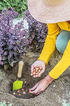 Planting decorative oxalis bulbs (Oxalis hirta) in summer.