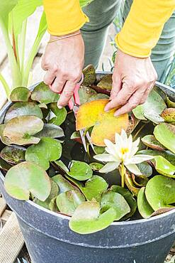 Cleaning an old leaf on a water lily (Nymphaea 'Pygmaea Helvola') grown in pots.