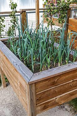 Leeks grown in a wooden bin, summer