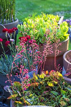 Coralbell (Heuchera sp) in bloom in a pot on a garden terrace, summer