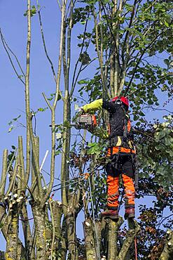 Tree pruning in autumn, cutting branches of a lime tree by a pruner with safety harness, country garden in Lorraine