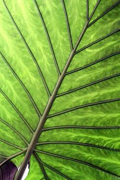 Alocasia (Alocasia sp) leaf, botanical garden of Tours, Center-Val de Loire