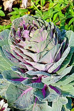 Brassica 'Crane Rouge'