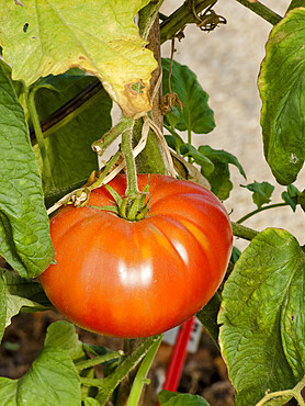 Tomate 'Bandy Wire'