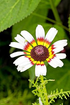 Chrysanthemum carinatum 'Oeil de Chouette'