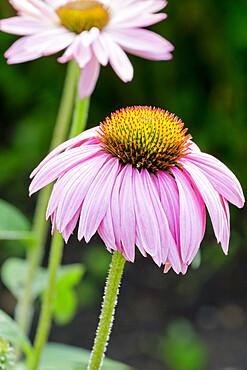 Echinacea purpurea 'Abendsonne'