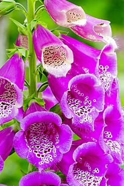 Digitalis purpurea Hybrides Excelsior