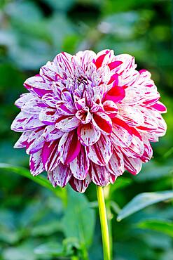 Dahlia 'Lajkonik' in bloom in a garden *** Local Caption *** Reg. : (POL) 2008