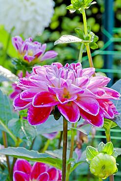 Dahlia 'Fancy' in bloom in a garden *** Local Caption *** Reg. : Largant (FRA) 2001