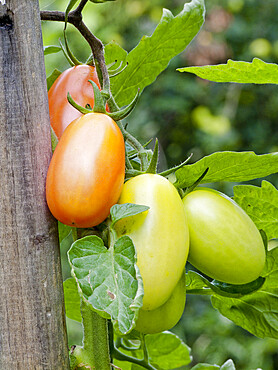 Tomate 'Chicco'
