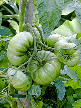 Tomate 'Green Geant'