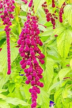 Amaranthus caudatus 'Pony Tails'