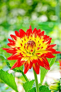 Dahlia 'Isadora' in bloom in a garden *** Local Caption *** Reg. : Gryson (BEL) 2002