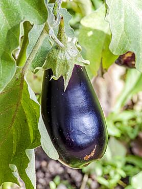 Aubergine violette de Barbentane