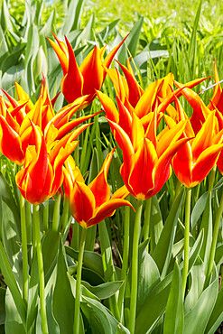 Tulip 'Fly Away' in bloom in a garden