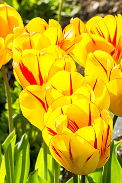 Tulip 'Olympic Flame' in bloom in a garden