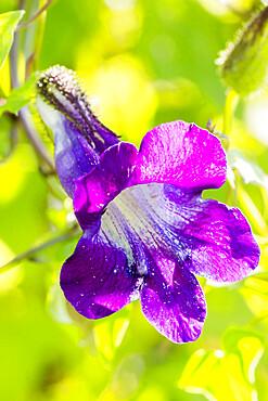 Maurandya barclayana 'Angel Blue'