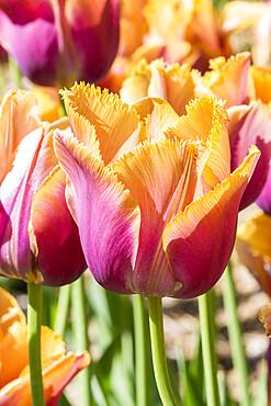 Tulip 'Valbella' in bloom in a garden