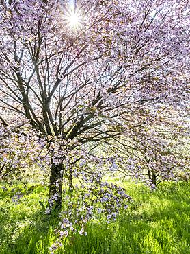 Prunus speciosa 'Ingram'