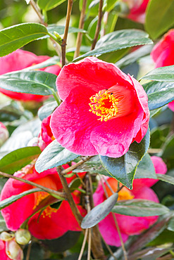 Camellia japonica 'Jean Laborey' (USA) 1985