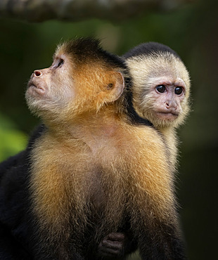 White-faced Capuchin (Cebus imitator), female with infant, Lake Gatun, Panama