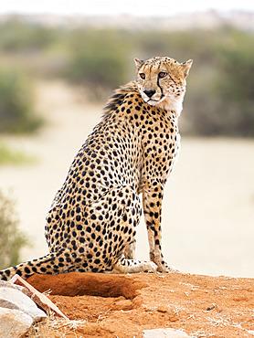 Cheetah (Accynonyx jubatus), Tswalu Kalahari reserve, South Africa