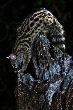 Common genet (Genetta genetta) on a stump, Extremadura, Spain