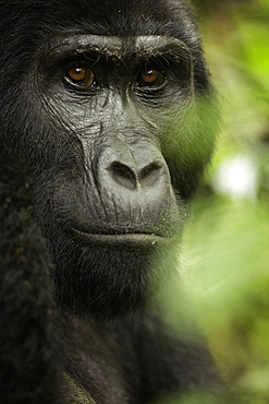 A Mountain Gorilla (Gorilla beringei beringei) looks on in Uganda.