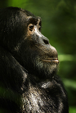 A Chimpanzee (Pan troglodytes) looks on in Uganda.