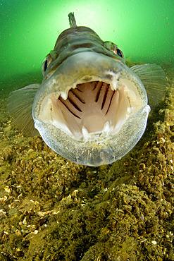 Male Zander or Pikeperch (Stizostedion lucioperca, Sander lucioperca) defending nest. Lake di Lugano or Ceresio, Ticino, Switzerland