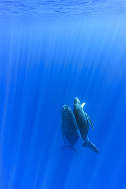 Humpback whale (Megaptera novaeangliae) mother with calf rising from the bottom, Reunion, overseas department and region of the French Republic and an Indian Ocean island in East Africa