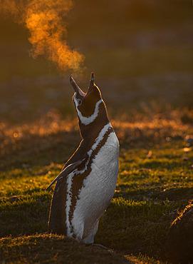Magellanic penguin (Spheniscus magellanicus) in a cold sunset,l Volunteer Point, East Falkland