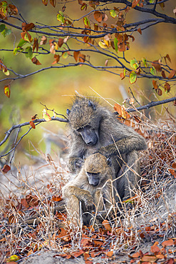 Chacma baboon (Papio ursinus) female delousing young in Kruger National park, South Africa