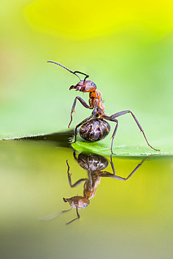 European Red Wood Ant (Formica polyctena) in defensive position with reflection, Lorraine, France