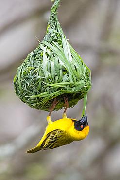 Southern Masked Weaver (Ploceus velatus), adult male building its nest, Mpumalanga, South Africa