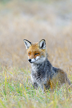 Red fox on meadow, Vulpes vulpes, Germany, Europe