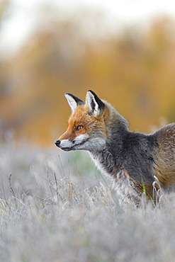 Red fox on meadow, Vulpes vulpes, Winter, Germany, Europe