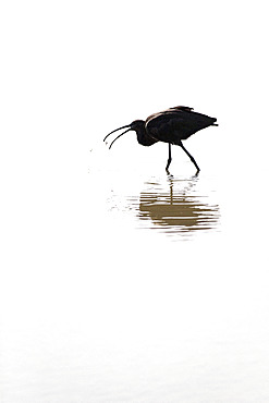 Glossy ibis (Plegadis falcinellus) in water against the light, Camargue, France