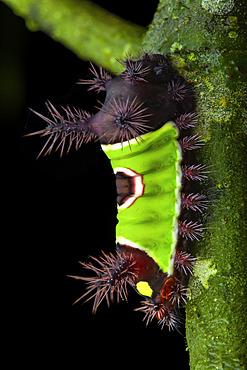 Flannel moth (Acharia stimulea), caterpillar, Panama