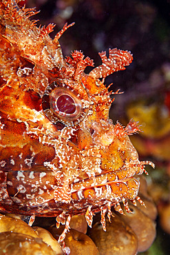 Portrait of Great rockfish, Scorpaena scrofa, Ponza island, Italy, Tyrrhenian Sea, Mediterranean