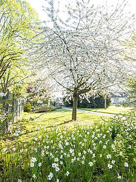 Prunus avium, Narcissus 'Actaea', Ecole du Breuil, Paris, France