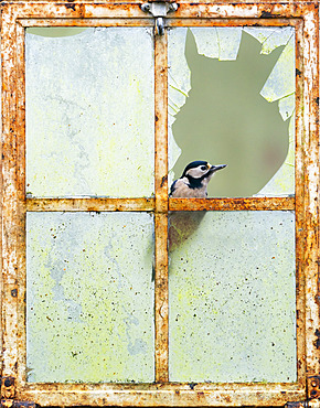 Great spotted woodpecker (Dendrocopos major) perched in an old window, England