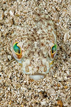 Greater weever, Trachinus draco, Marine Protected area Punta Campanella, Massa Lubrense, Penisola Sorrentina, Costa Amalfitana, Italy, Tyrrhenian Sea, Mediterranean