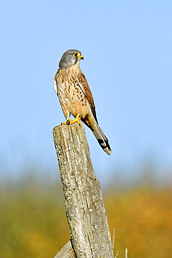 Krestel (Falcon tinnunculus)on a post in grassland, Doubs, France