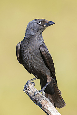 Western Jackdaw (Coloeus monedula spermologus), adult perched on a branch, Basilicata, Italy