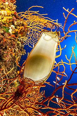 Catshark egg, (Scyliorhinus sp.), on Yellow gorgonia, (Eunicella cavolini), Marine Protected area Punta Campanella, Massa Lubrense, Penisola Sorrentina, Costa Amalfitana, Italy, Tyrrhenian Sea, Mediterranean