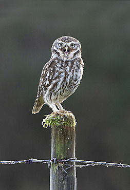 Little owl (Athena noctua) perched on a post and calling, England