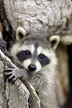 North American raccoon Minnesota USA North America America