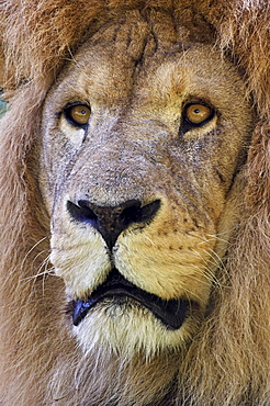 lion Male African Lion Panthera leo portrait Africa